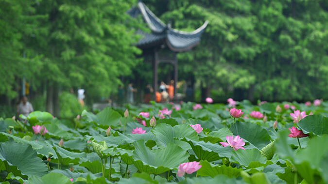 Xuanwu Lake Lotus Festival 玄武湖莲花节