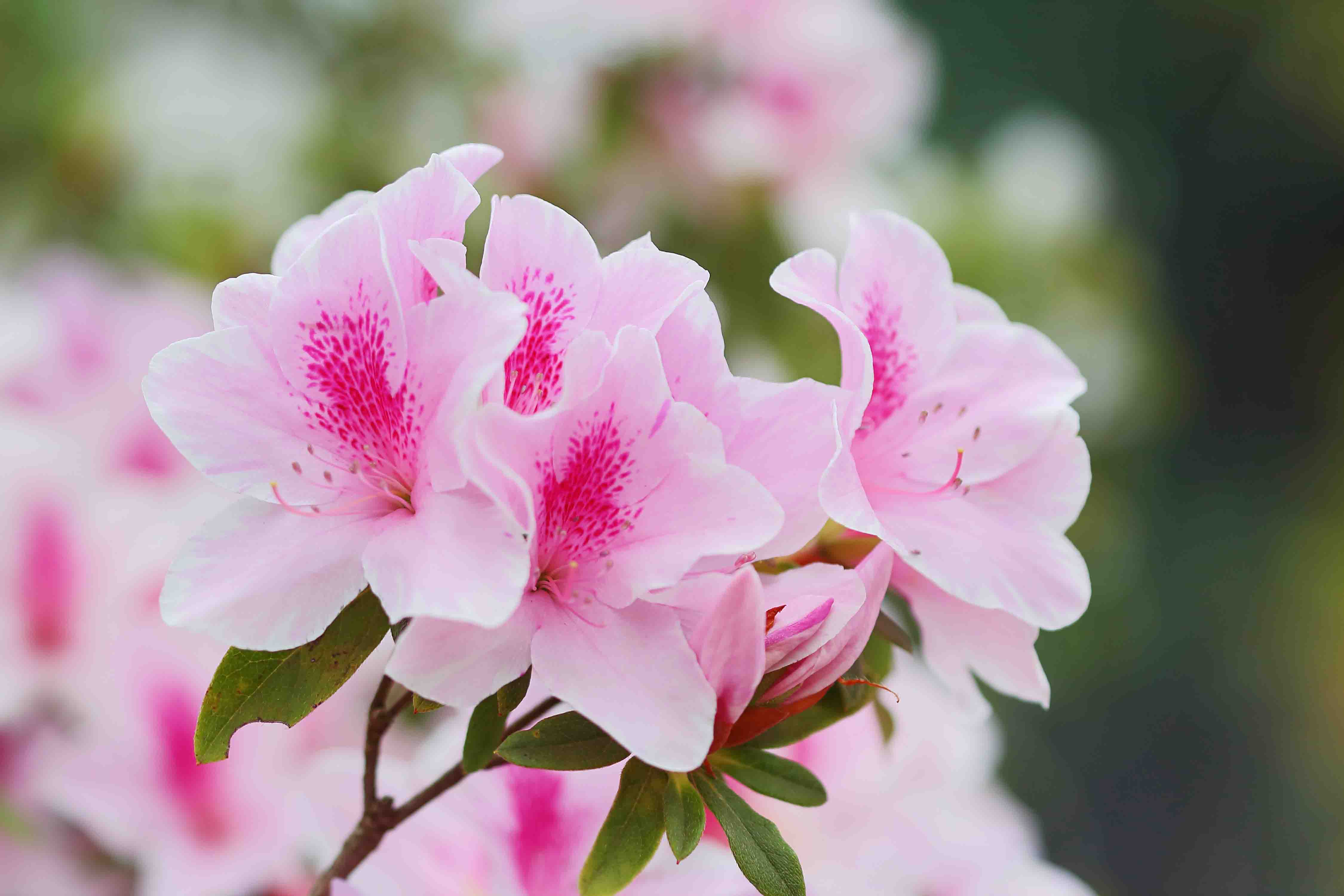 Pink azaleas in the park, close up and soft focus