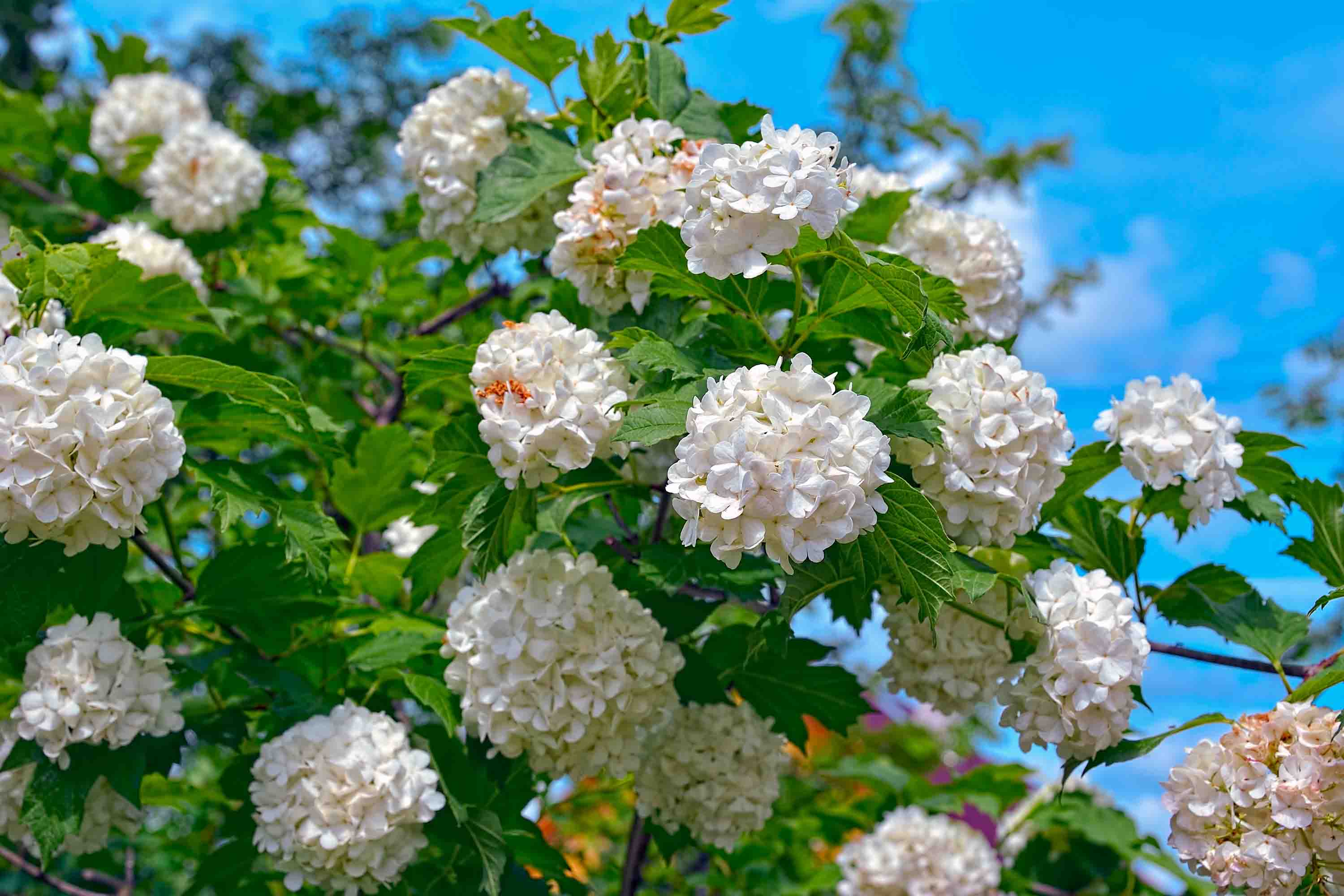 Blossom of guelder rose - Arrowwood, Snowball Bush, European Snowball. Beautiful white Viburnum opulus 'Roseum'  is a large, deciduous shrub with lobed leaves that take on red tints in autumn.